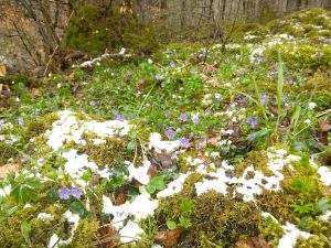 Snow and spring flowers in the Schwalbe Alpen.