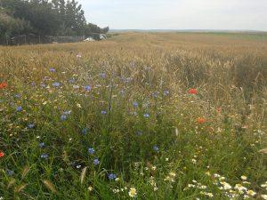 Wheat field and cornflowers
